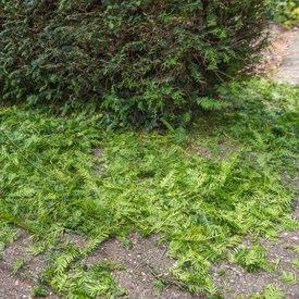 Taxus planten stap 2: Het graven van de geul