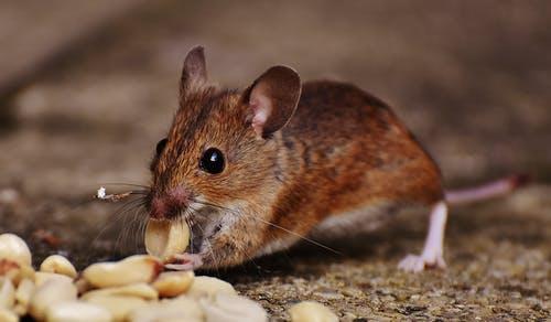 Ontdek je muizen in huis? Schakel snel professionele bestrijding in