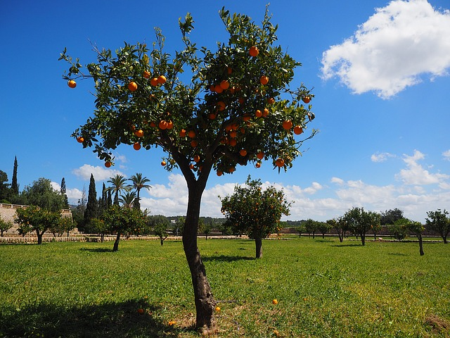 Citrusbomen – een grote familie